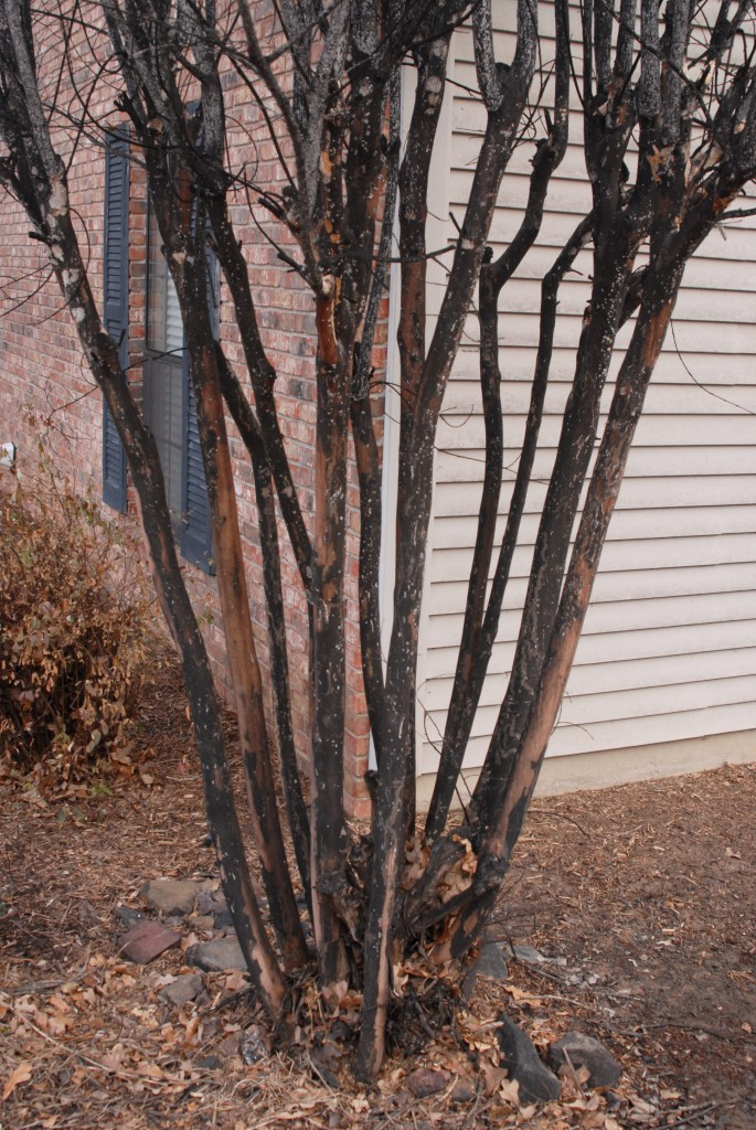 Crapemyrtle Bark Scale sooty mold