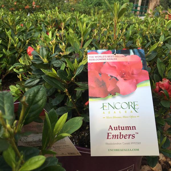 Encore Azalea Plant Species The Good Earth Garden Center