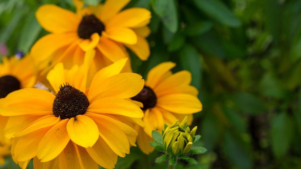Rudbeckia Flowering