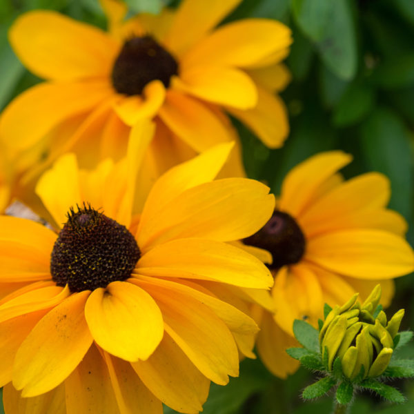 Rudbeckia Flowering